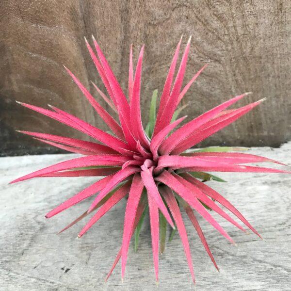 Tillandsia ionantha, röd, planta
