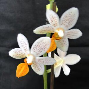 Phalaenopsis Mini Mark 'Maria Theresa' AM/AOS, blommor