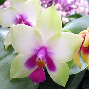 Phalaenopsis bellina '987', blomma