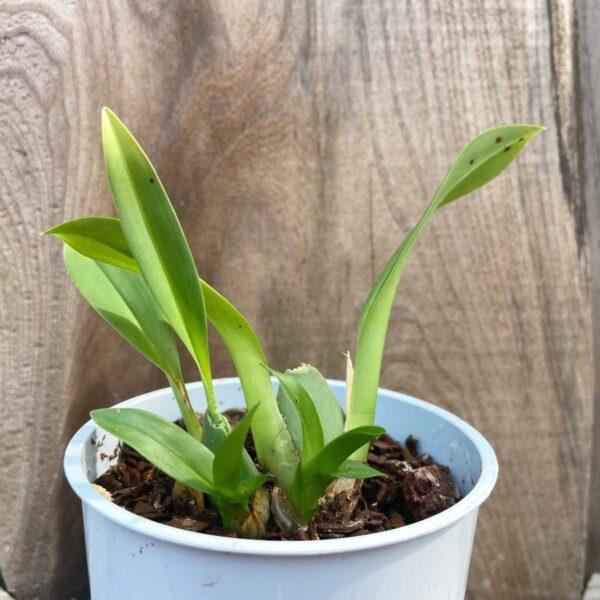 Oncidium Tiny Twinkle, planta