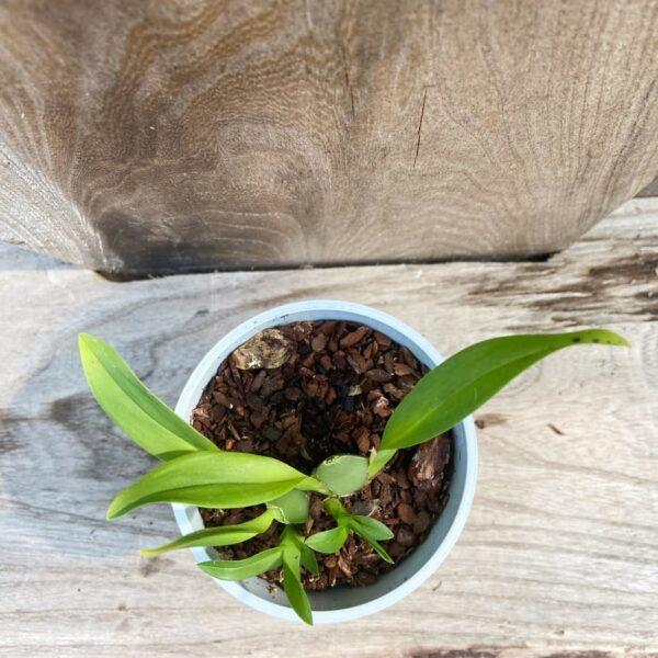 Oncidium Tiny Twinkle, planta uppifrån