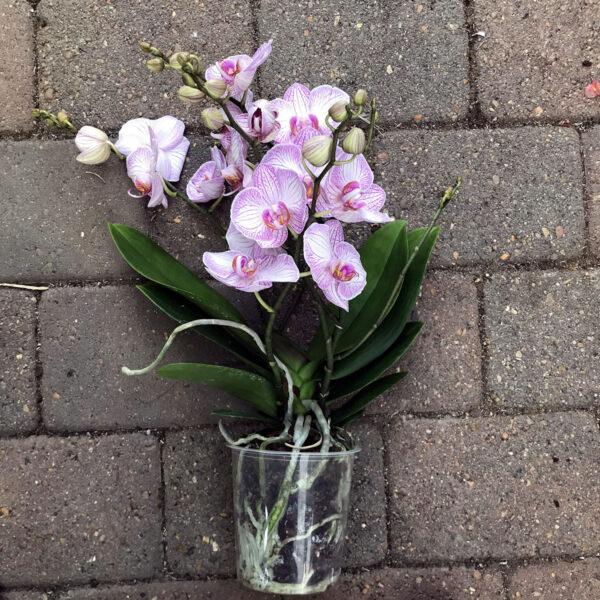 Phalaenopsis Harmony