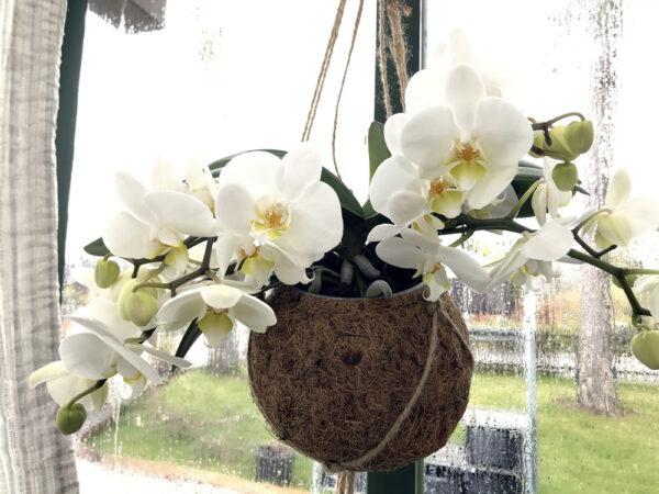Phalaenopsis Geisha