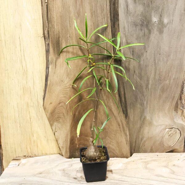 Hydnophytum puffii, vuxen planta
