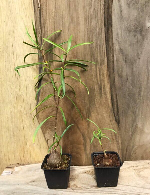 Hydnophytum puffii, vuxen och ung planta