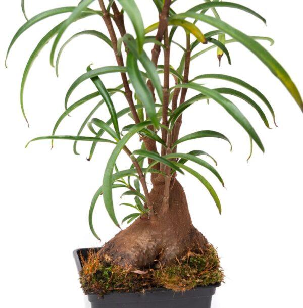 Myrplanta (Hydnophytum puffii)