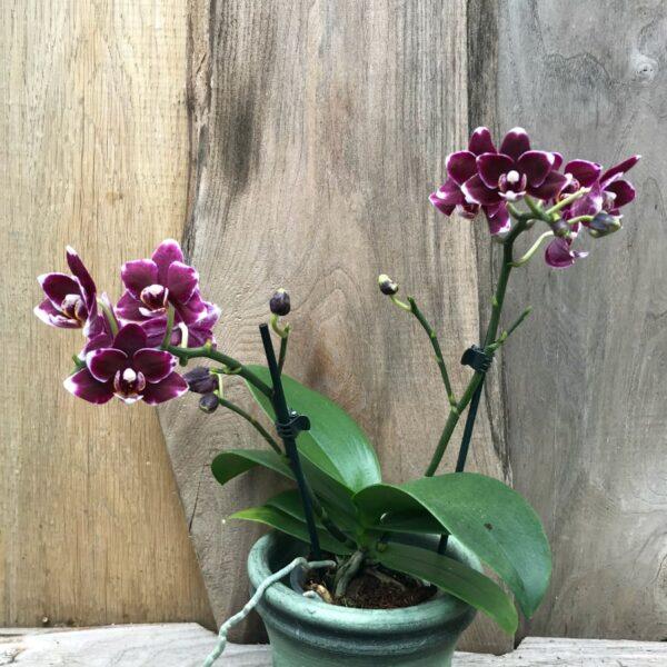 Phalaenopsis Little Black Pearl, 2 stänglar