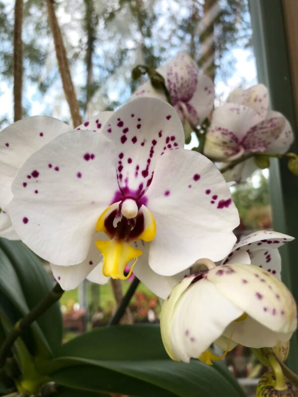 Phalaenopsis Geisha 'Dotted'