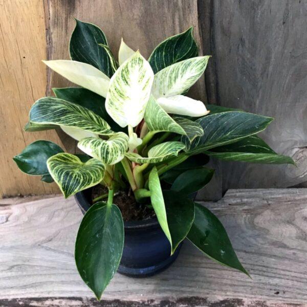 Philodendron White Measure, planta