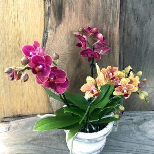 """Doritaenopsis """"Confetti"""", gul och röd"""