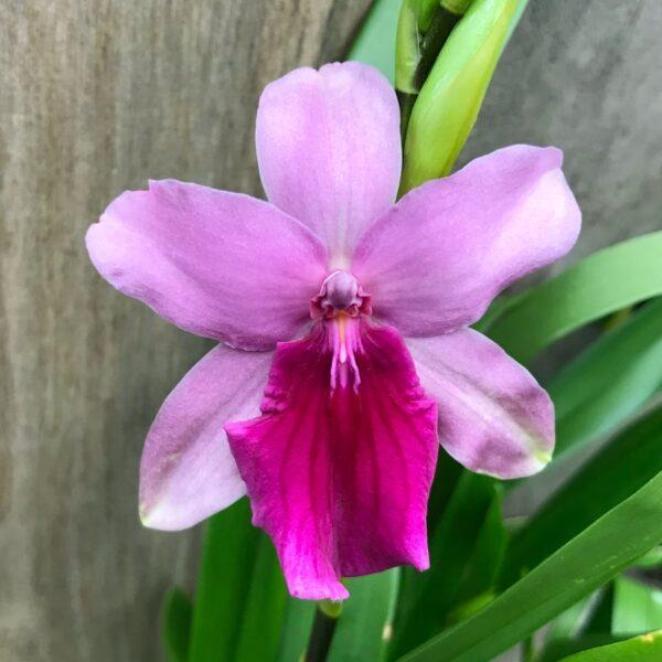 Miltonia Honolulu 'Dark Lip', blomma