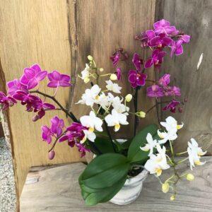 """Doritaenopsis """"Confetti"""", vit och lila"""