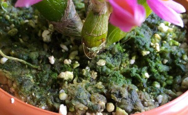 Dendrobium planterad i GreenMix, lite mossa har börjat växa på substratet
