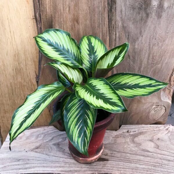 Calathea Beauty Star, vuxen planta