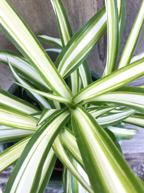 Chlorophytum comosum, detalj