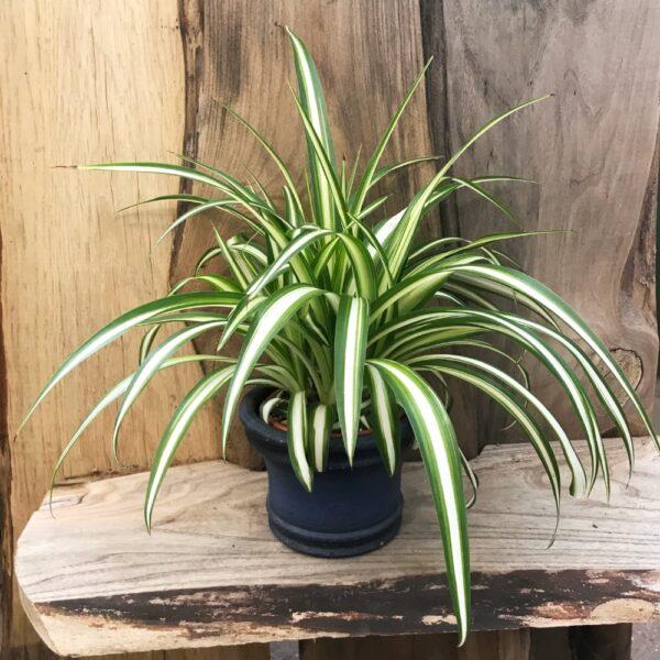 Clorophytum comosum (Ampellilja)