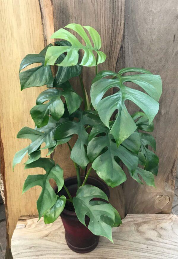 Monstera minima (Rhapidophora tetrasperma), 50 cm hög
