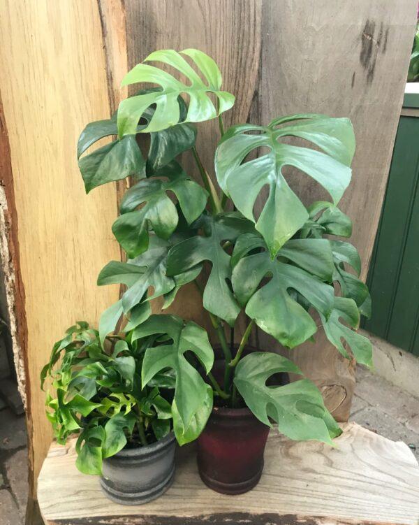 Monstera minima (Rhapidophora tetrasperma), ung planta och vuxen planta