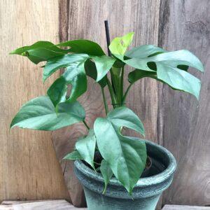 Monstera minima, större ung planta