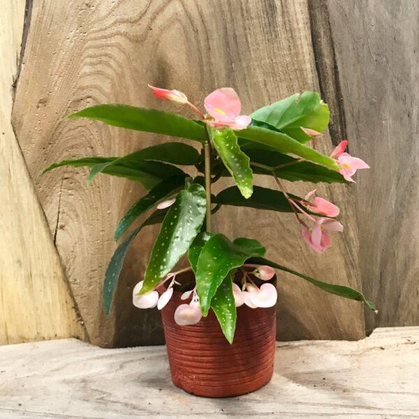 Begonia × albopicta, ung planta