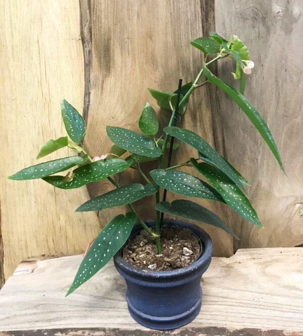 Begonia x albopicta, vuxen planta