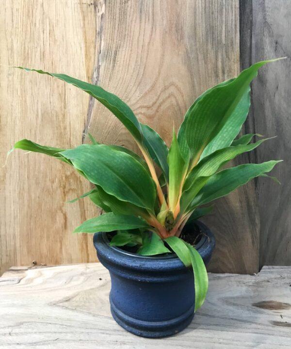 Chlorophytum amaniense 'Mandarin'