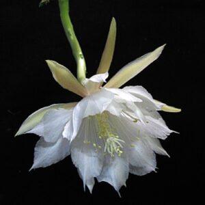 Epiphyllum anguliger av Emma Lindahl