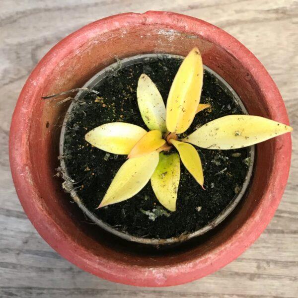 Philodendron Prince of Orange, ung planta