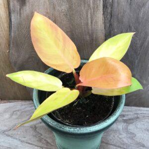 Philodendron Prince of Orange, vuxen planta