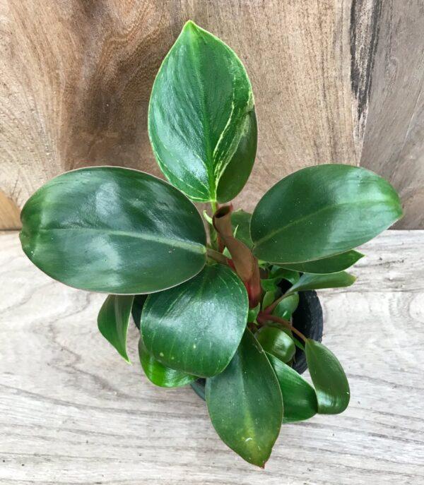 Philodendron Rojo Congo, ung planta, uppifrån