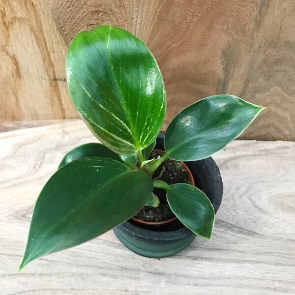 Philodendron White Measure (Birkin), ung planta