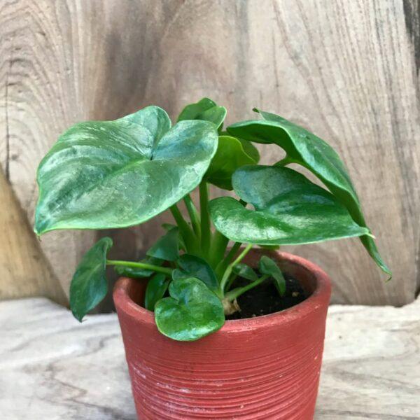 Philodendron bipinnatifidum 'Atom', ung planta