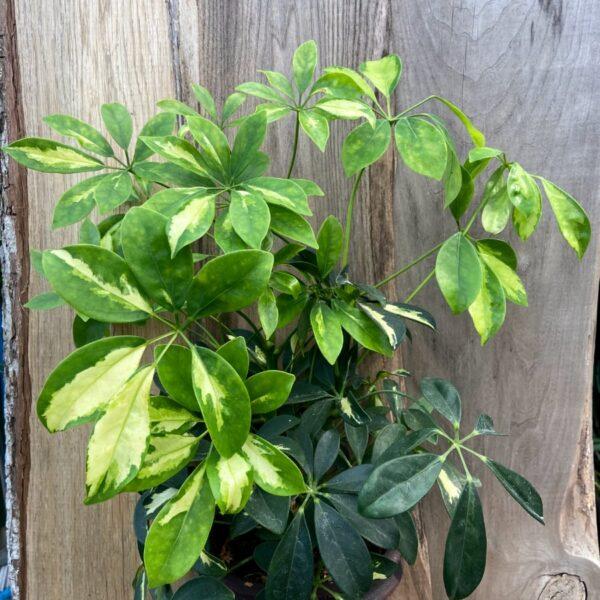 Schefflera arboricola 'Gerda' Paraplyaralia