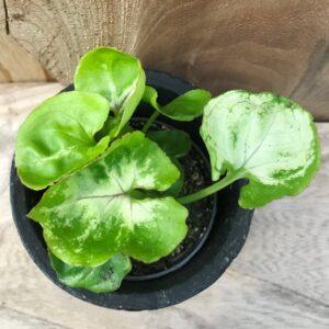Syngonium podophyllum 'Mango Allusion', ung planta