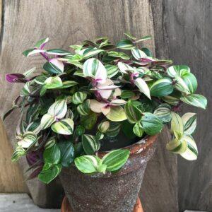 Tradescantia fluminensis 'Tricolor', vuxen planta