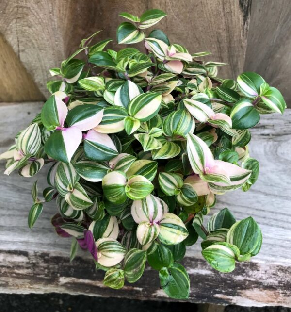 Tradescantia fluminensis 'Tricolor', planta, uppifrån