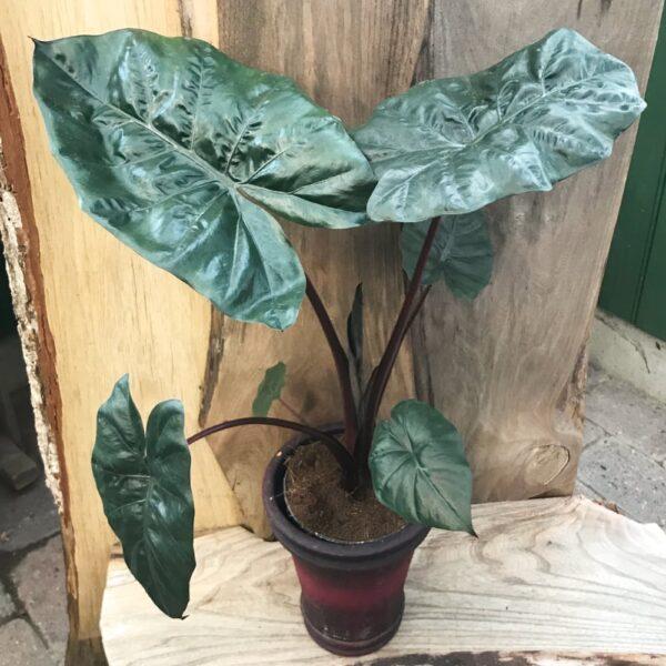 Alocasia sarawakensis 'Yucatan Princess'