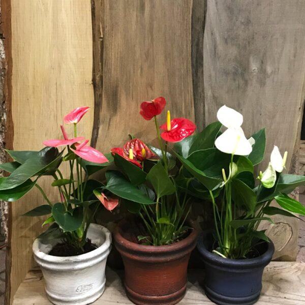 Anthurium, blandade färger