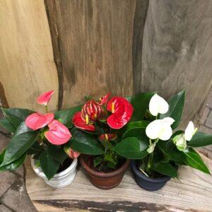 Anthurium, tre plantor med rosa, vita och röda blommor