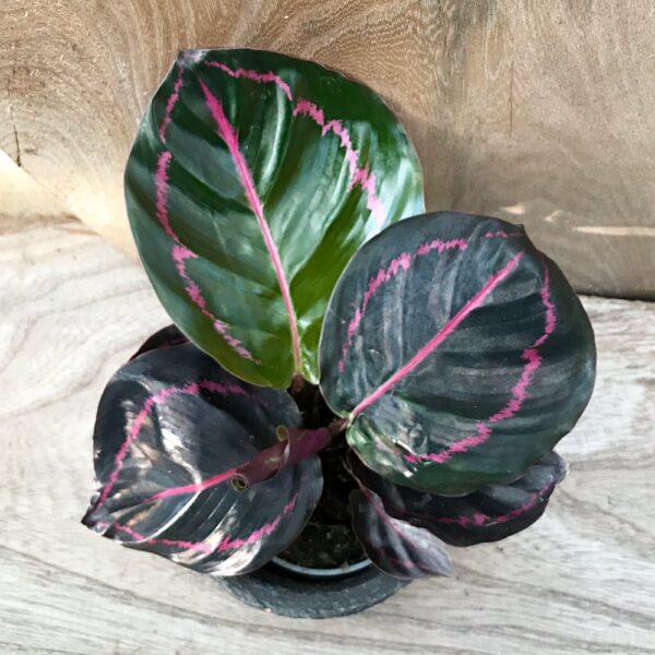 Calathea roseopicta 'Illustris', vuxen planta