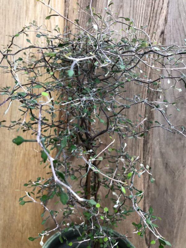 Corokia cotoneaster, grenar