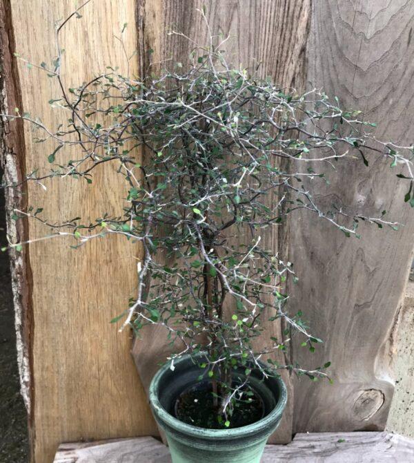 Corokia cotoneaster, vuxen planta