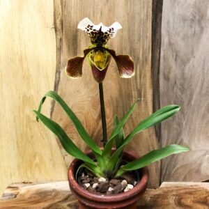 Paphiopedilum, Amerikansk Hybrid