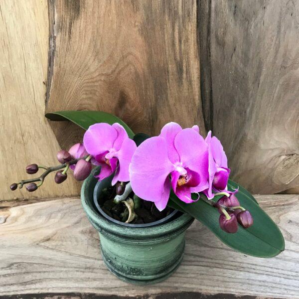 Phalaenopsis Geisha 'Pink'