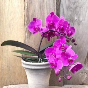 Phalaenopsis Geisha 'Pink', blommande