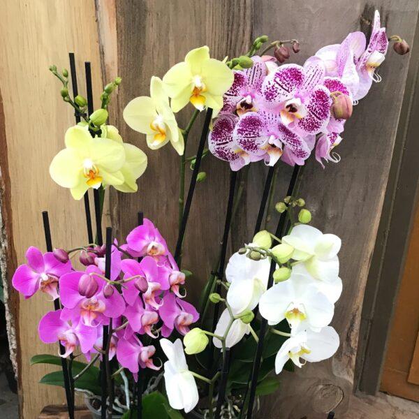 Phalaenopsis-hybrid med tre stänglar, flera plantor