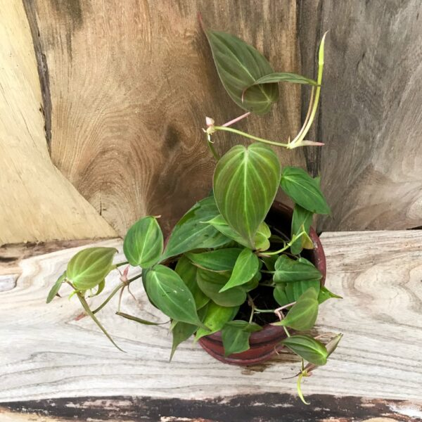 Philodendron hederaceum var hederaceum 'Micans'