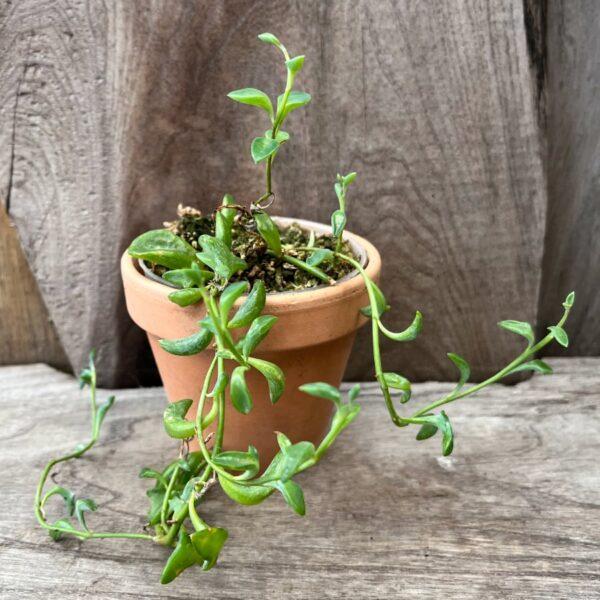 Senecio peregrinus, ung planta