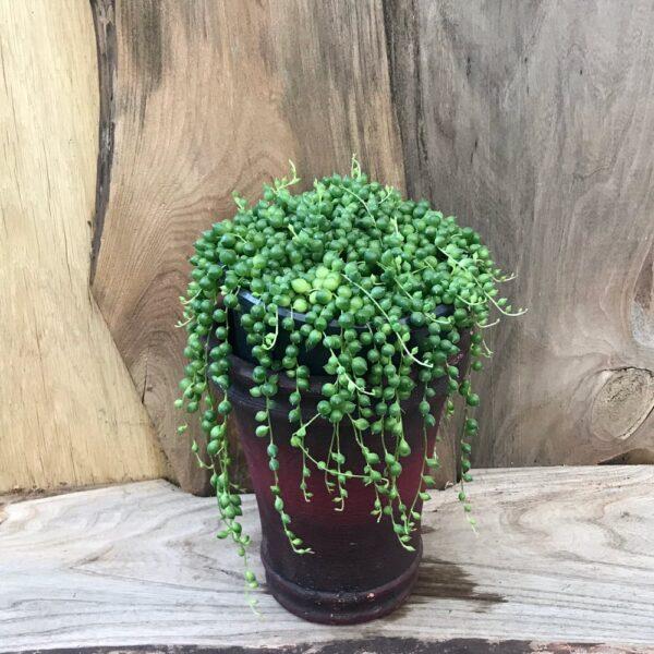 Senecio rowleyanus (Ärtor på tråd)