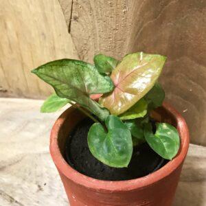 Syngonium podophyllum 'Berry Allusion'